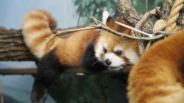Un panda roux se repose sur une branche.