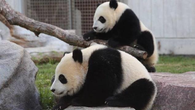 Un panda grimpe sur un rocher, un autre grimpe sur une branche d'arbre.