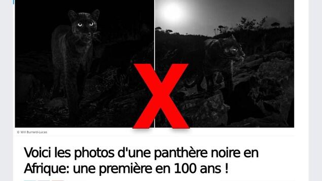 Capture d'écran d'un article qui titre « Voici les photos d'une panthère noire en Afrique: une première en 100 ans! »
