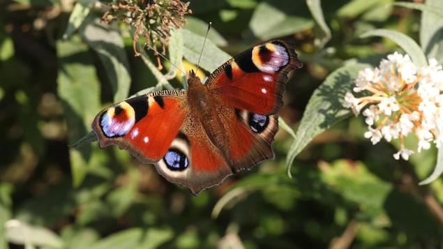Un papillon Paon-du-jour (Aglais io) sur une fleur.