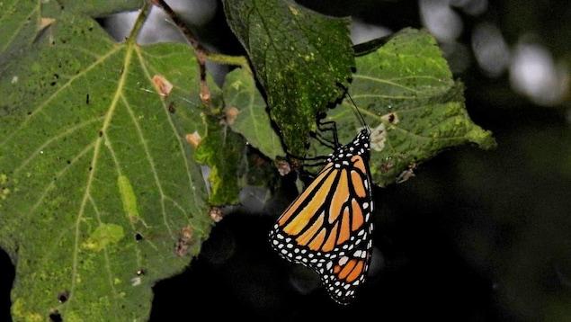 Un papillon monarque se tient sur une feuille.