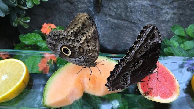 Deux papillons posés sur des fruits