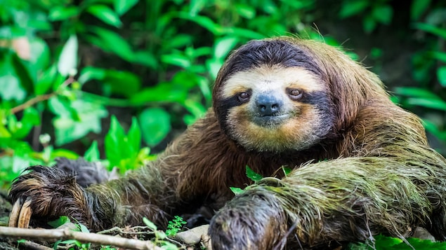 Un paresseux dans une forêt du Costa Rica.