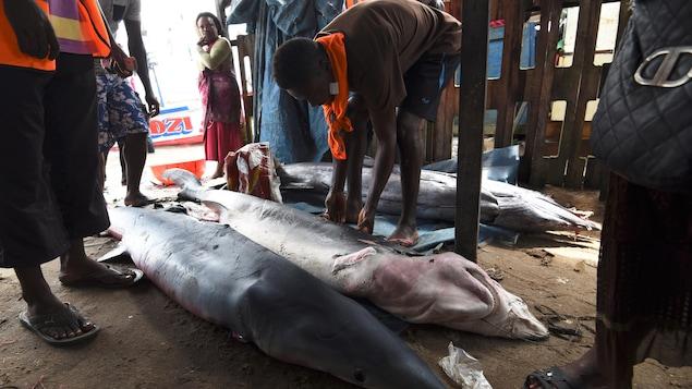 Des pêcheurs dévoilent les requins qu'ils ont pêchés dans un port d'Abidjan, en Côte d'Ivoire.