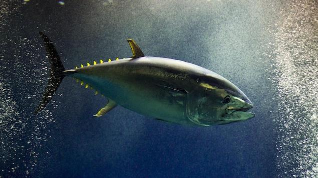 Un thon rouge dans les eaux japonaises