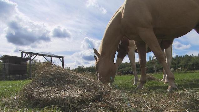 Deux chevaux mangent du foin dans un enclos extérieur.