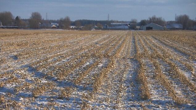 Un champ de maïs sous la neige.