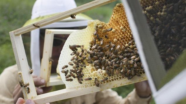 Un apiculteur manipule des abeilles.