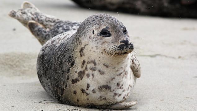 Un phoque commun étendu sur le sable