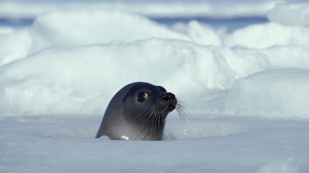 La tête d'un phoque du Groenland émerge d'un trou dans une banquise au large des Îles-de-la-Madeleine.