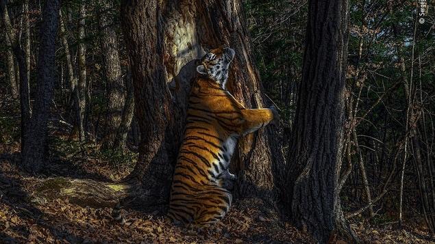Une tigresse de Sibérie étreint le tronc d'un arbre.