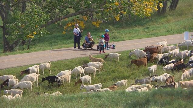 Des passants s'arrêtent pour regarder des dizaines de chèvres brouter l'herbe.