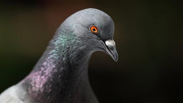 Malgré son petit cerveau, le pigeon possède une grande densité de neurones dans son pallium.
