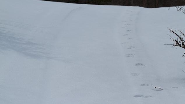 Pistes d'un prédateur dans la neige