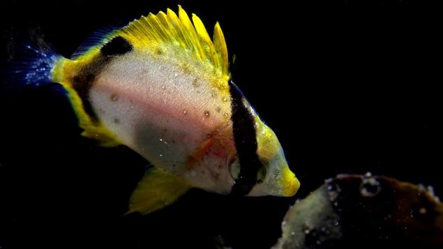 Un poisson-papillon ocellé dans l'eau.
