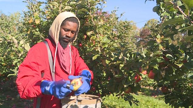 عامل أسود في مزرعة تفاح يضع تفاحة في سلة يحملها.