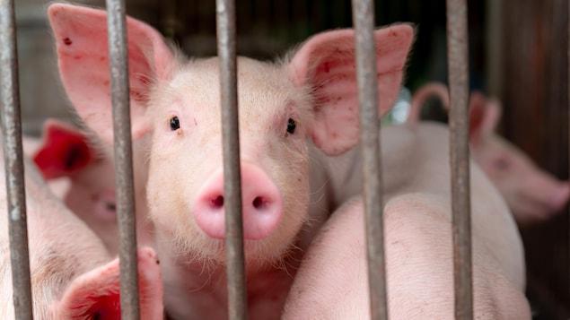 Des porcs sont dans un espace fermé.