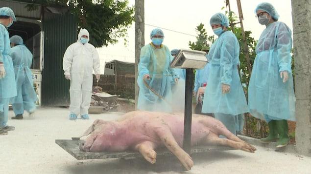 Un porc décédé est sur une balance.