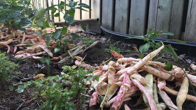 Gros plan sur une plante. Des cosses de haricots jonchent le sol