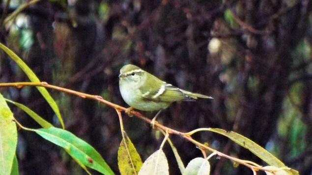 Un pouillot à grands sourcils, petit oiseau jaune.