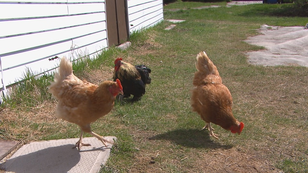 Trois poules qui picorent un terrain.