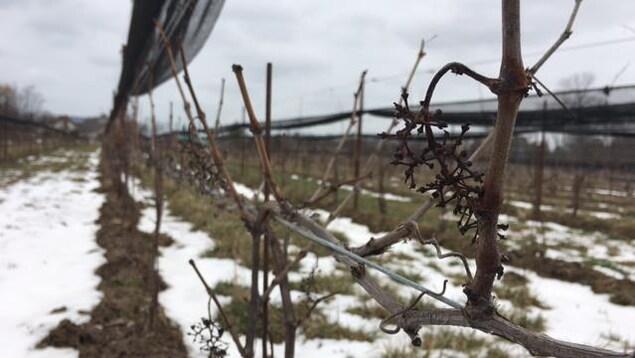 Pied de vigne à la fonte de neige