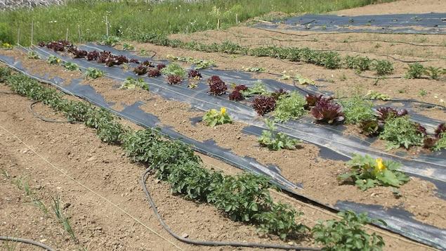 Légumes dans jardin.