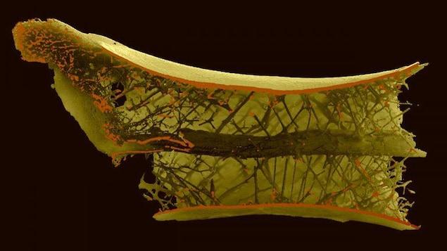 Vue interne de l'os du cou d'un ptérosaure Azhdarchidae montrant plusieurs rayons qui lui permettaient de soutenir son long cou et de soulever ses proies.