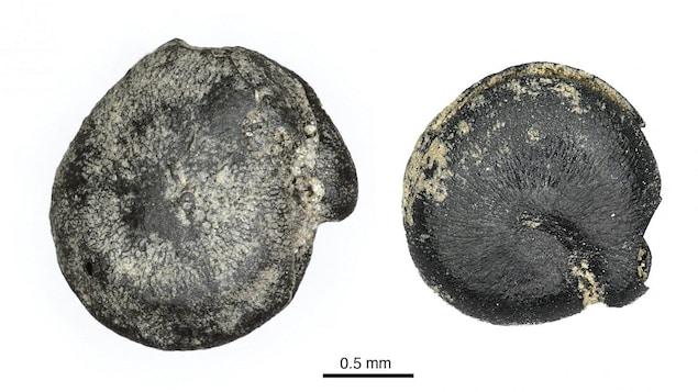 Des graines de quinoa brûlées et fossilisées.
