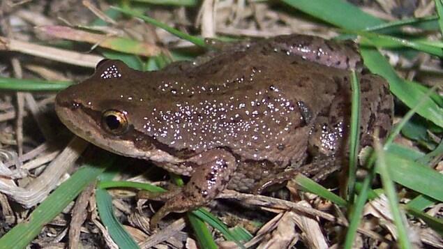 Une grenouille dans l'herbe.