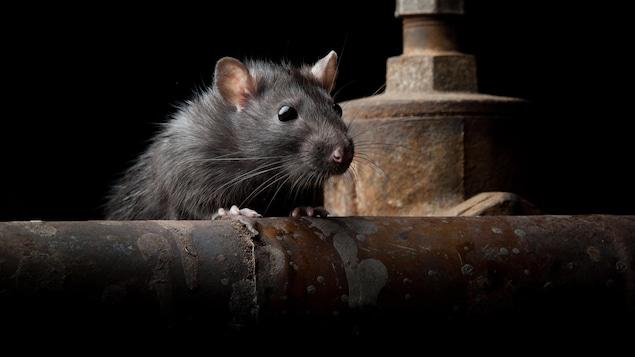 Un rat surgit de derrière un tuyau.