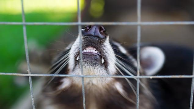 Une raton laveur montrant les dents.