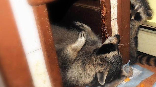 L'un des ratons laveurs est couchés sur le dos dans une niche et l'autre l'observe à l'extérieur.