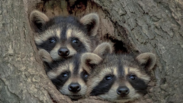 Trois ratons laveurs regardent dehors par un trou dans un arbre.