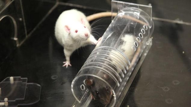 Deux rats, dont l'un est captif dans un tube de plastique.