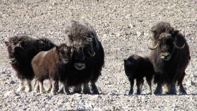 Une famille de boeufs musqués sur l'île Cornwallis, Nunavut.