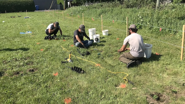 Les chercheurs plantent quatre couvre-sols différents dans le gazon.