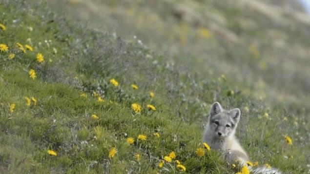 Un renard arctique dans un champ