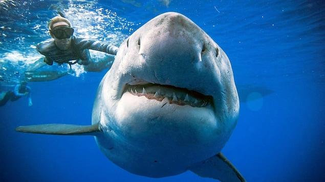 Le grand requin blanc surnommé Deep Blue.
