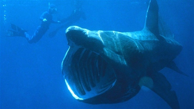 Un requin-pèlerin