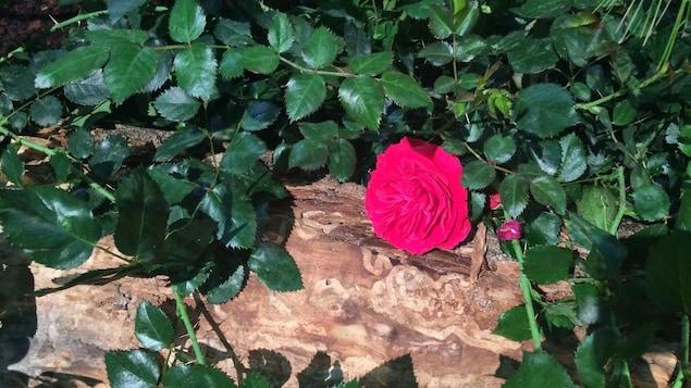 La rose «Canadian Shield» , développée par le Centre de recherche et d'innovation Vineland, peut survivre à -40 degrés Celsius.