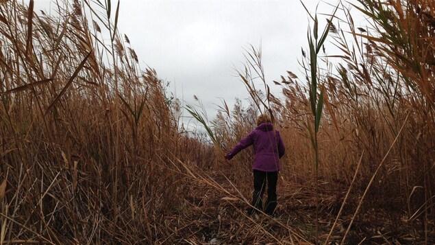Une femme marche dans au milieu de milliers de roseaux près du lac Huron.