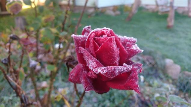 Une rose gelée.