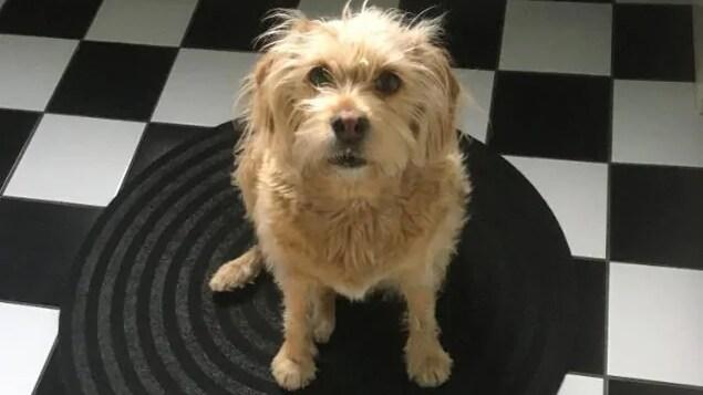 Une photo de Ruby prise de haut. La chienne regarde directement la caméra, ou son maître. Elle est assise sur un tapis déposé sur un plancher à carreaux noir et blanc.