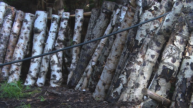 Des arbres sur lesquels poussent des champignons.
