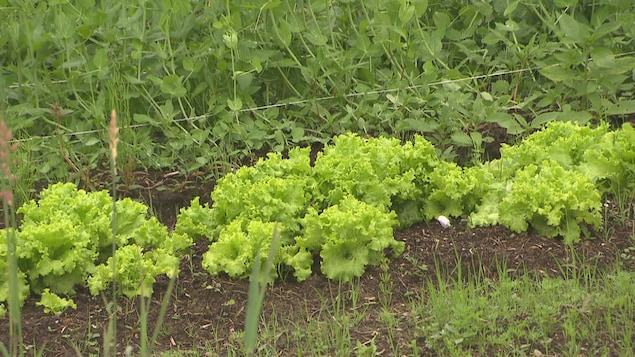 Une allée de salade dans un jardin.