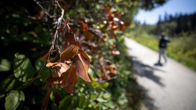 Des feuilles brunes en gros plan, avec de la verdure et un passant qui marche en arrière-plan.