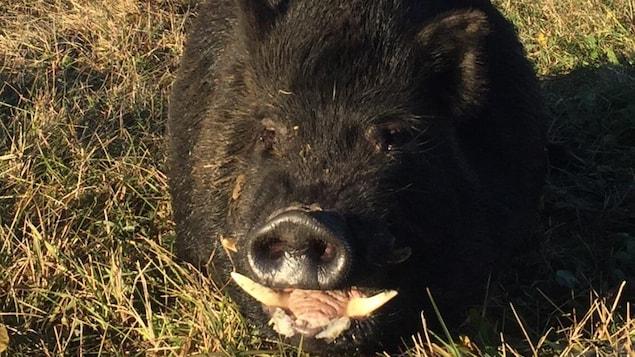Un sanglier noir est couché dans une prairie, en Saskatchewan.