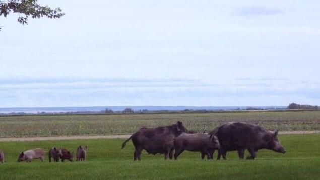 Un troupeau de sangliers sauvages avec des petits dans un champs vert.