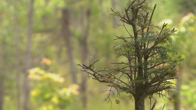 Un voit en gros plan un jeune sapin dont les tiges ont été broutées.